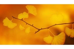 ⭐️ GINKGO BILOBA 1️⃣ BENEFICIOS 2️⃣ EFECTOS SECUNDARIOS 3️⃣ PROPIEDADES